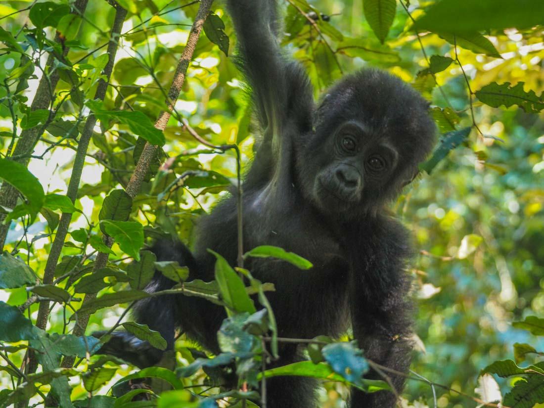 gorillas-uganda-trek-1-13 Gorilla Tracking Uganda - The Mubare Family