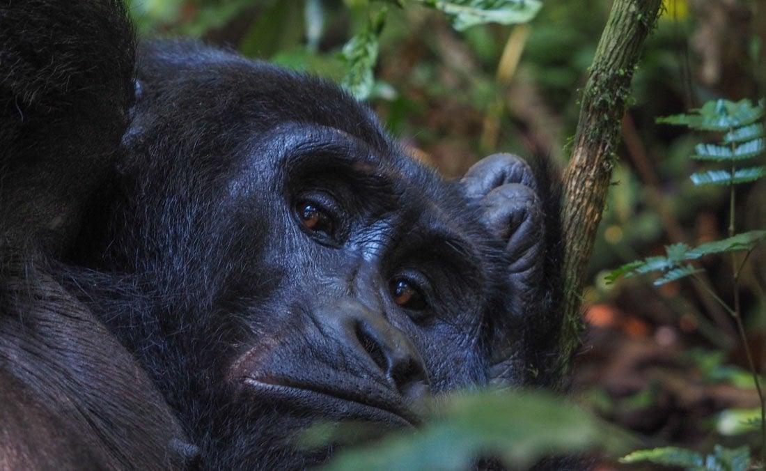 gorillas-uganda-trek-1-14 Gorilla Tracking Uganda - The Mubare Family