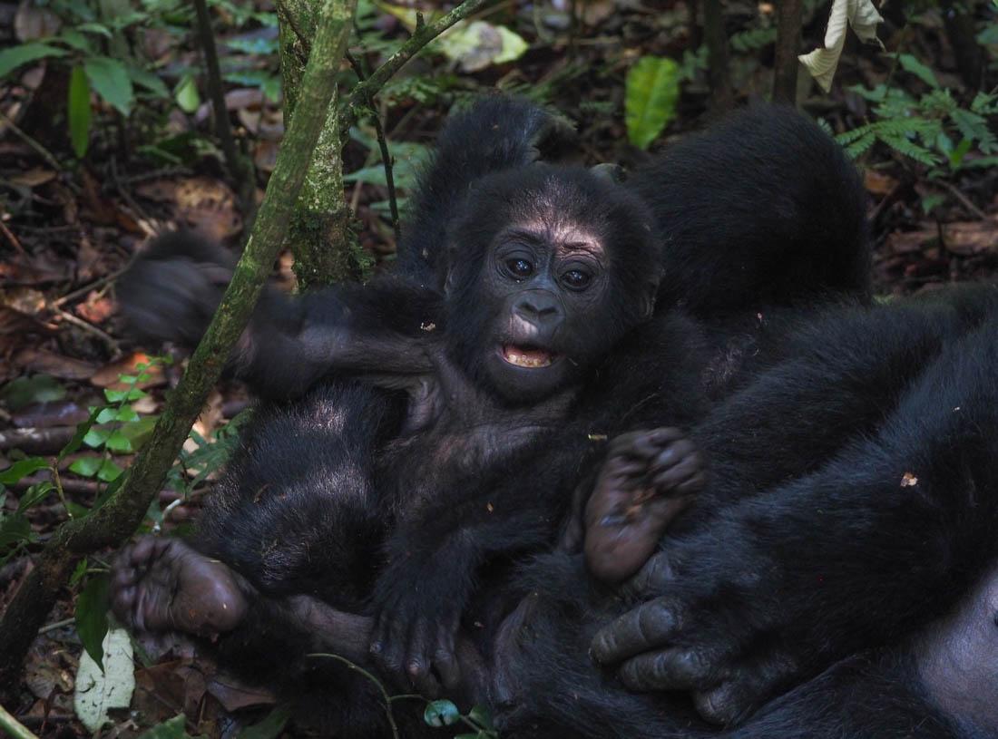 gorillas-uganda-trek-1-15 Gorilla Tracking Uganda - The Mubare Family
