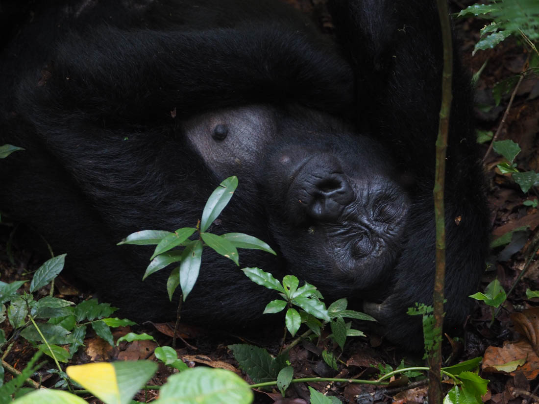 gorillas-uganda-trek-1-16 Gorilla Tracking Uganda - The Mubare Family