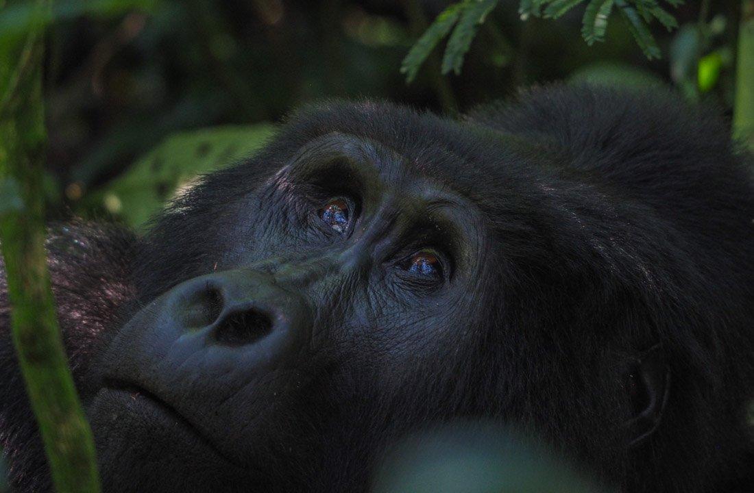 gorillas-uganda-trek-1-2 Gorilla Tracking Uganda - The Mubare Family