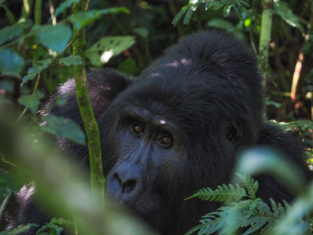 gorillas-uganda-trek-1-3 Gorilla Tracking Uganda - The Mubare Family