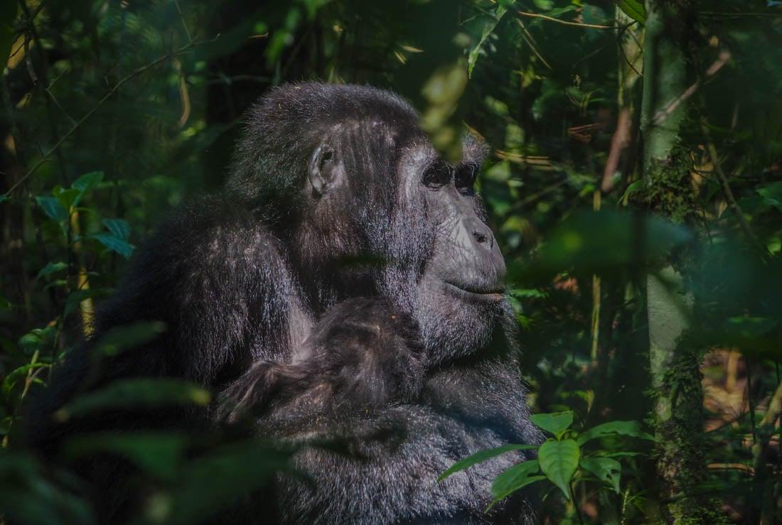 gorillas-uganda-trek-1-4 Gorilla Tracking Uganda - The Mubare Family