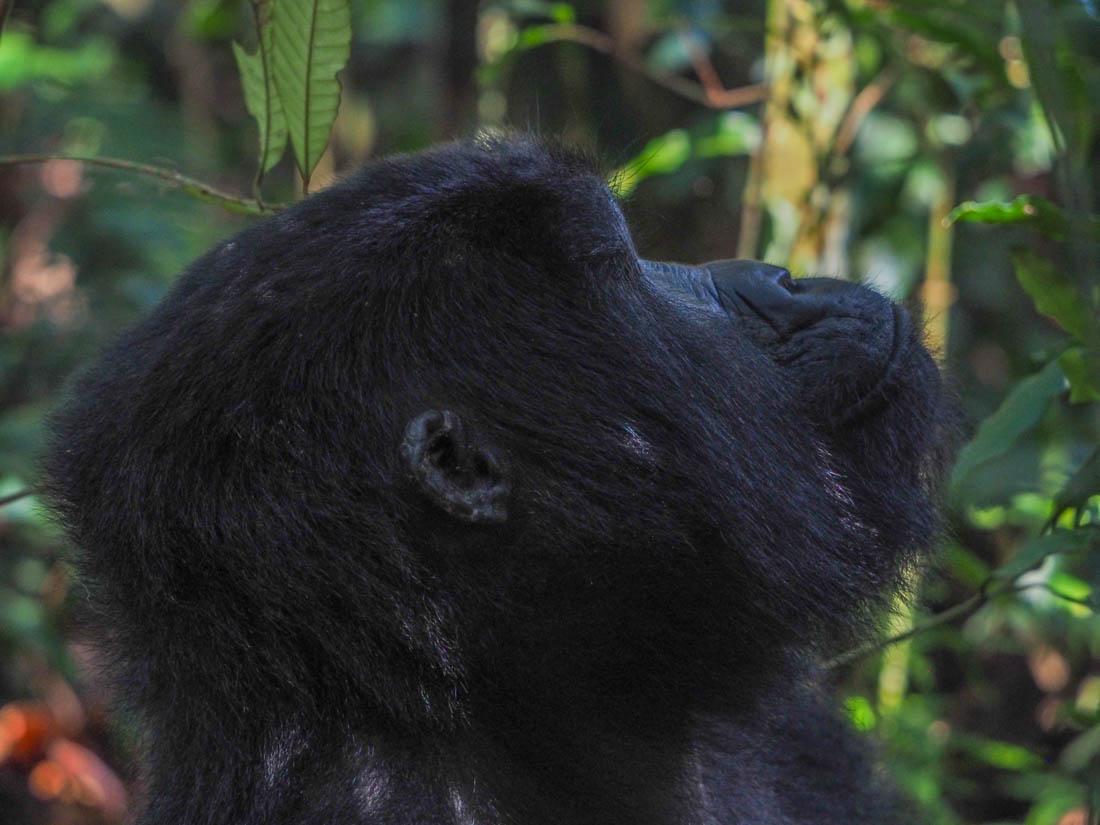 gorillas-uganda-trek-1-5 Gorilla Tracking Uganda - The Mubare Family