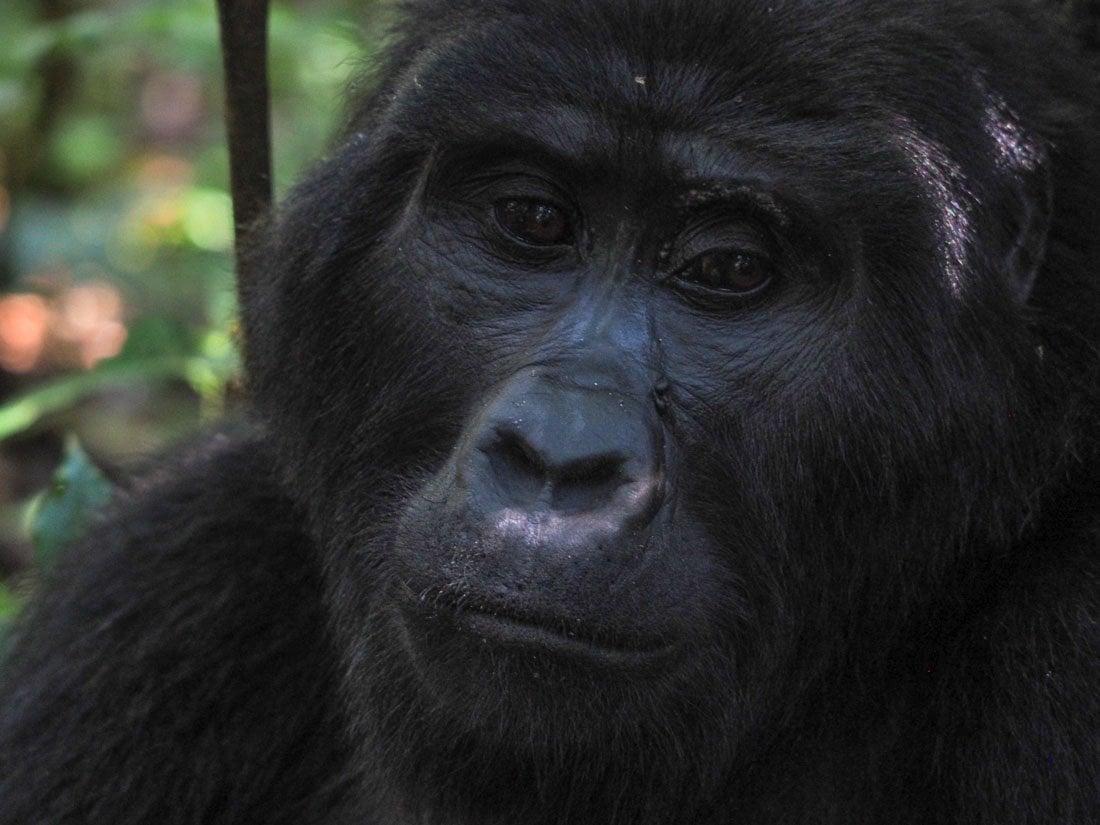 gorillas-uganda-trek-1-6 Gorilla Tracking Uganda - The Mubare Family