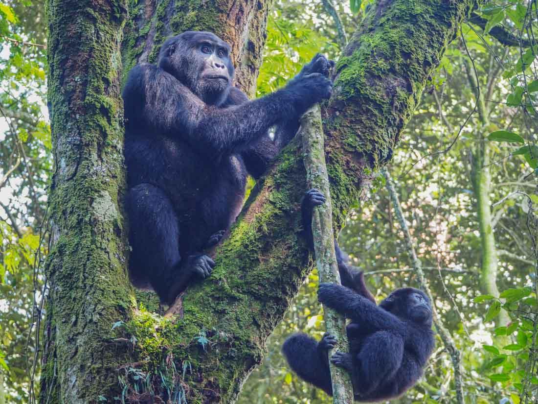 gorillas-uganda-trek-1-8 Gorilla Tracking Uganda - The Mubare Family