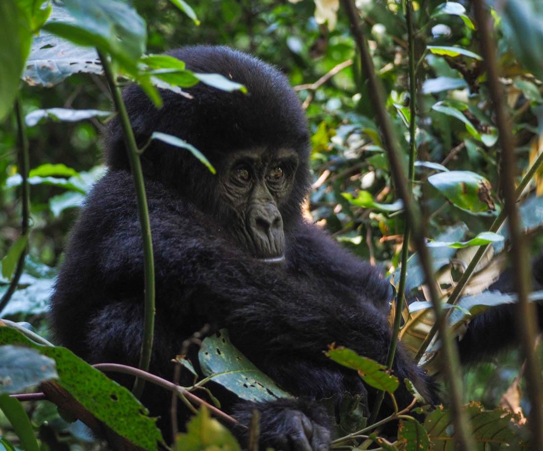 gorillas-uganda-trek-1-9 Gorilla Tracking Uganda - The Mubare Family