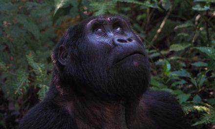 Gorilla Tracking Uganda – The Mubare Family