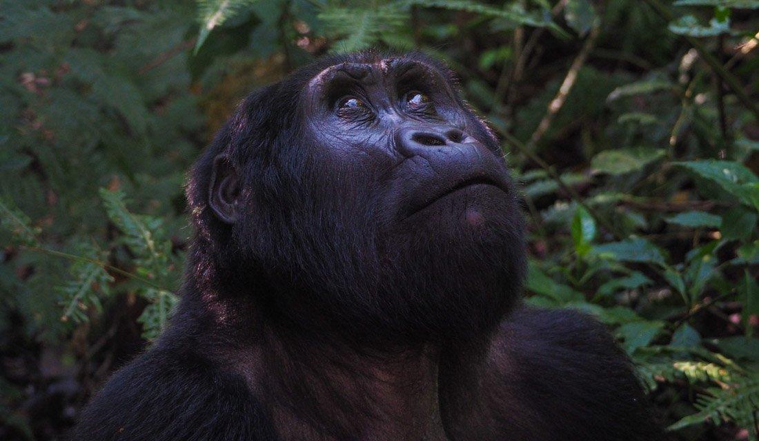 Gorilla Tracking Uganda - The Mubare Family 1