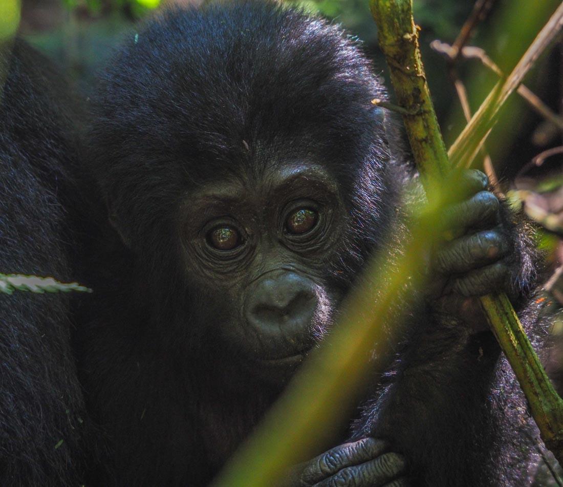 gorillas-uganda-trek-1 Gorilla Tracking Uganda - The Mubare Family