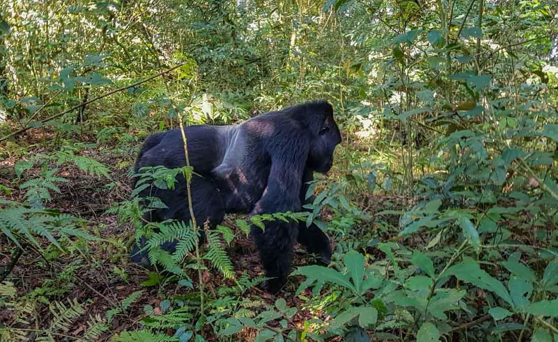 gorillas-uganda-trek-silverback Gorilla Tracking Uganda - The Mubare Family