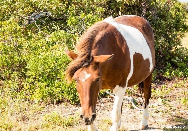 The Wild Horses of Assateague Island