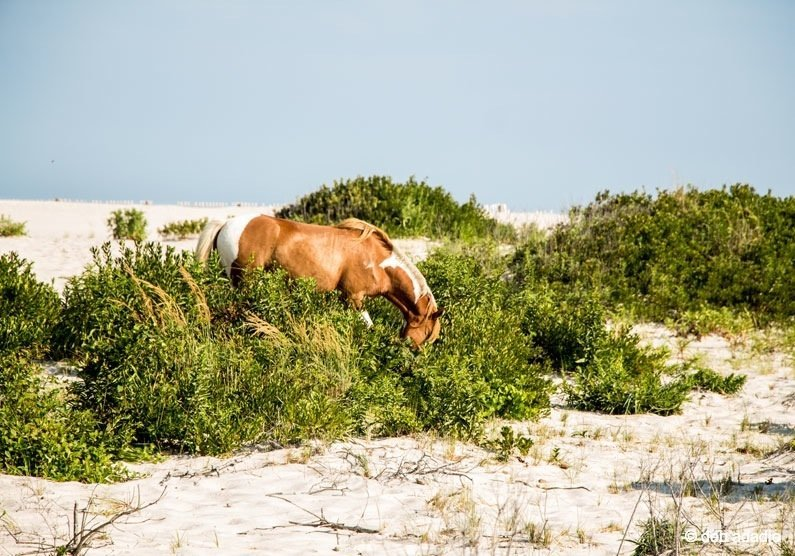 horses7 Wild Horses of Assateague Island