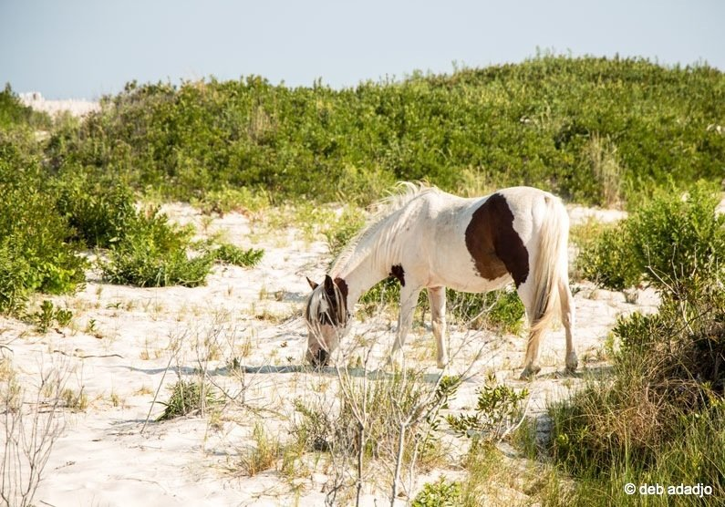 horses8 Wild Horses of Assateague Island