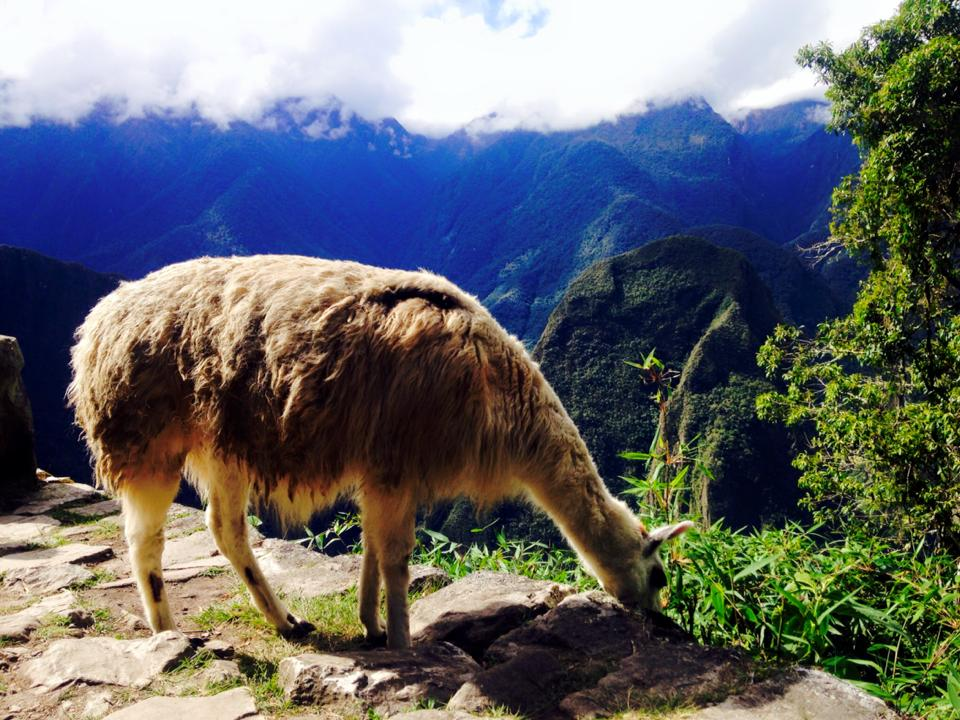 lama-1 The Magic of Machu Picchu