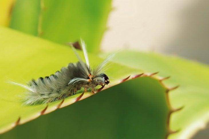 Azotador – Tussock – Halysidota sp