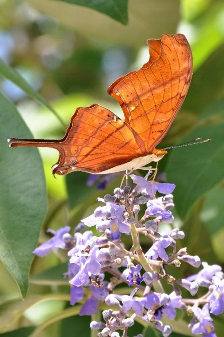 Mariposa cola de golondrina – Swallow tail butterfly – Papilionidae
