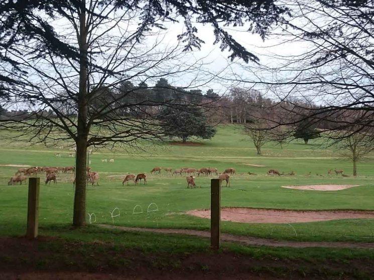 deer at Wollaton deer park