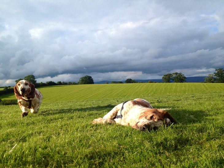 photo08 The Basset Hounds – My Faithful Scoundrels