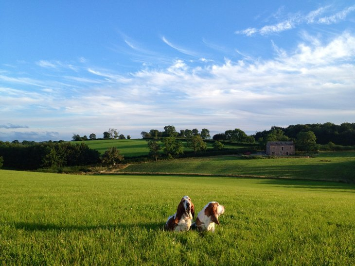 photo10 The Basset Hounds – My Faithful Scoundrels