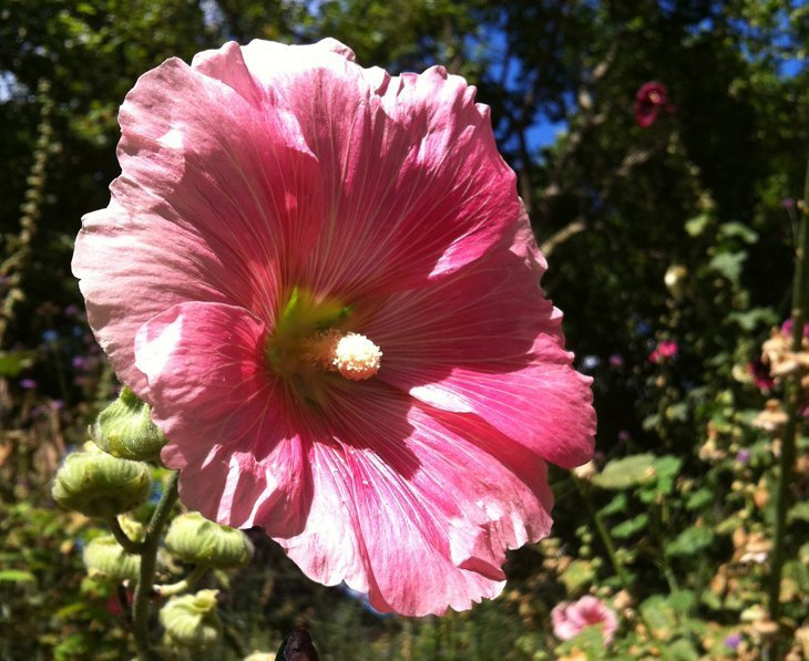 The Gentle Giants of East London – Hollyhocks