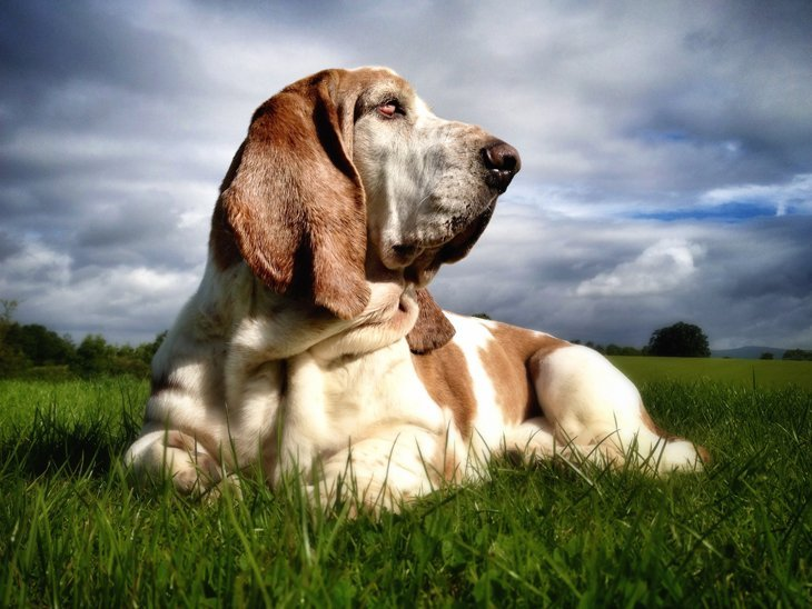 photo231 The Basset Hounds – My Faithful Scoundrels