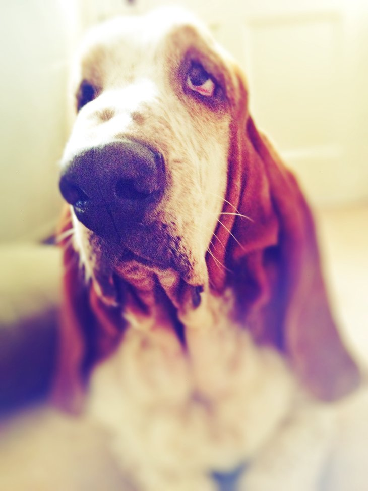 photo25 The Basset Hounds – My Faithful Scoundrels