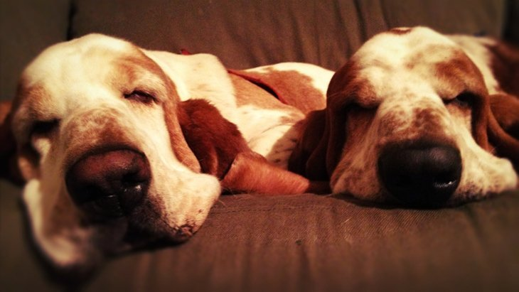 photo26 The Basset Hounds – My Faithful Scoundrels