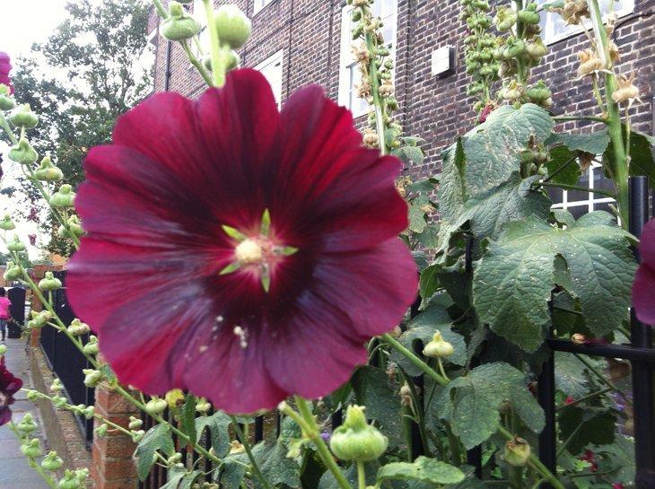 photo33 The Gentle Giants of East London – Hollyhocks