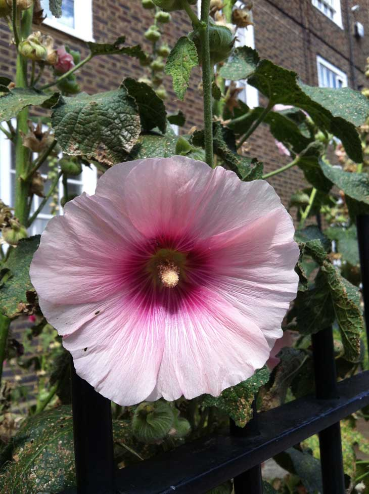 photo51 The Gentle Giants of East London – Hollyhocks