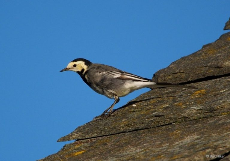 The Pied Wagtails on the roof