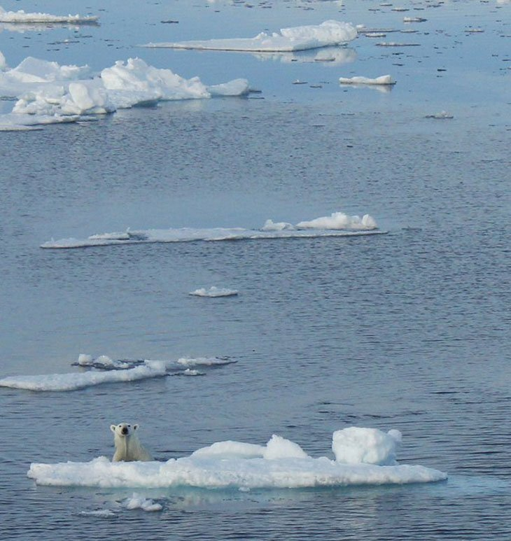 polar bear in the arctic water
