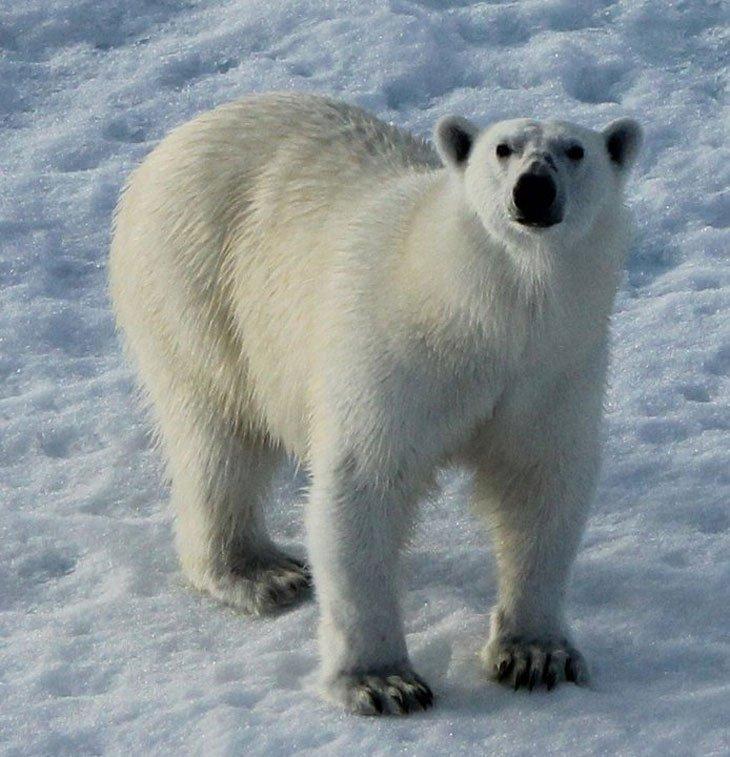 polar bear looking at me