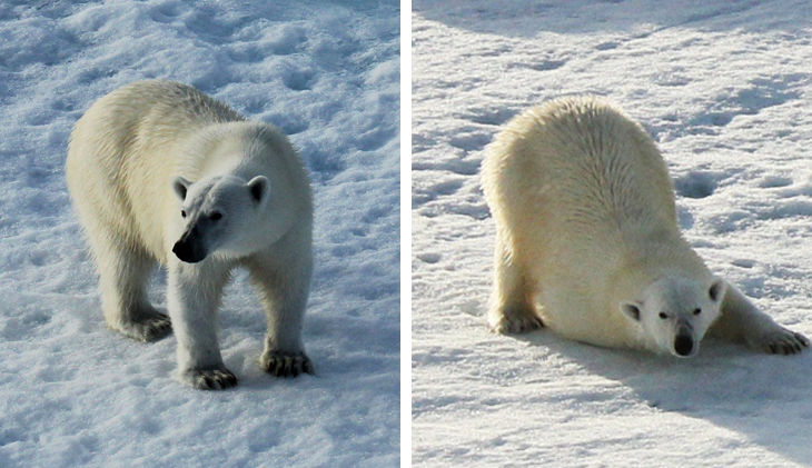 polar-bears Cutting Through The Arctic – Snapping The Spectacle