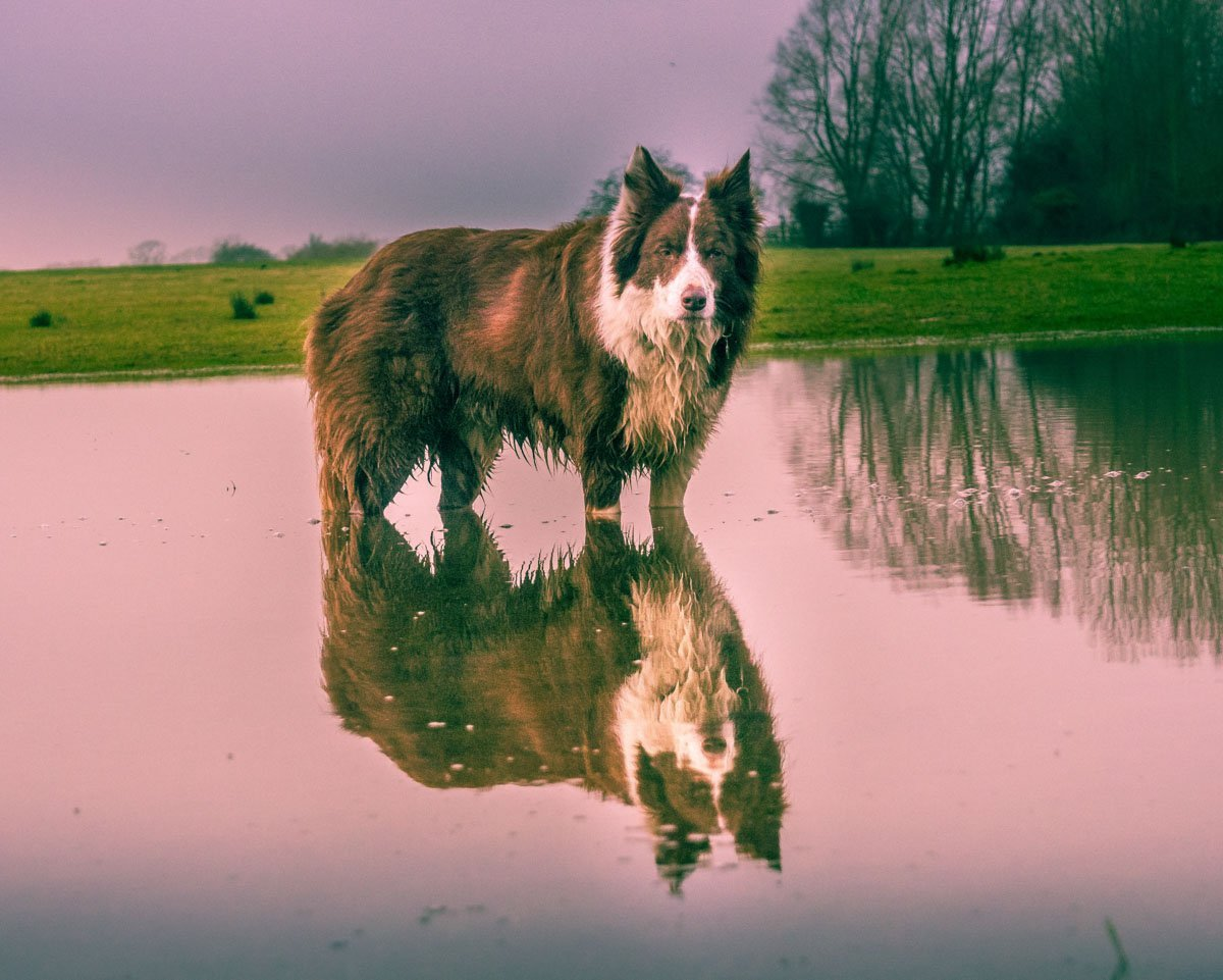 puddle Adventures With Rusty, The Border Collie