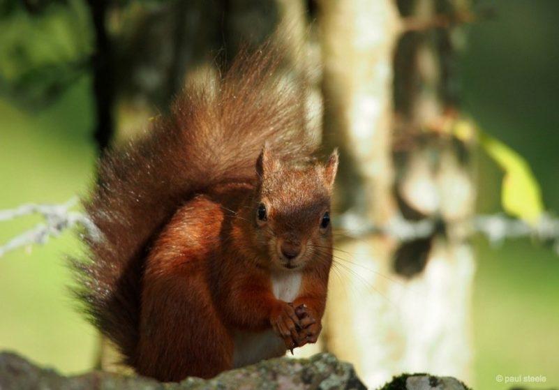 the red squirrels of Eden Valley, Cumbria