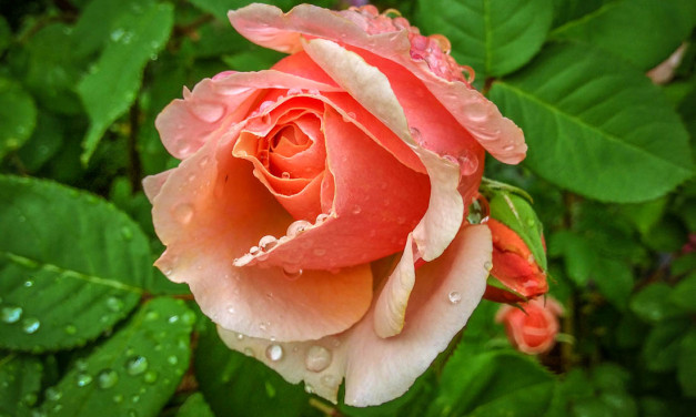 From Cuttings to Colour: Create Your Own Rose Garden