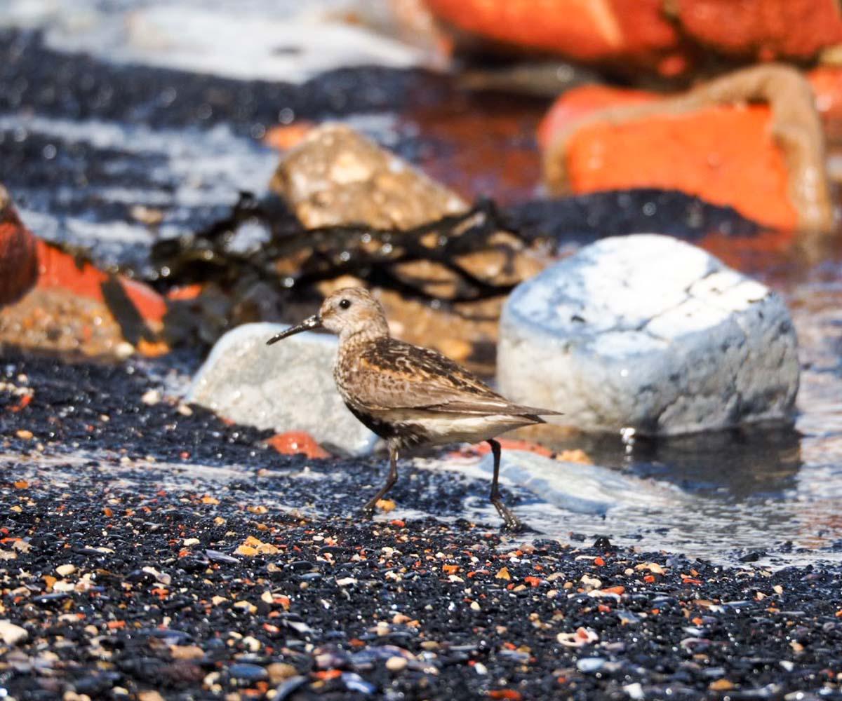sanderlings-UK-10 Sanderlings and Dunlins of Crimdon Beach