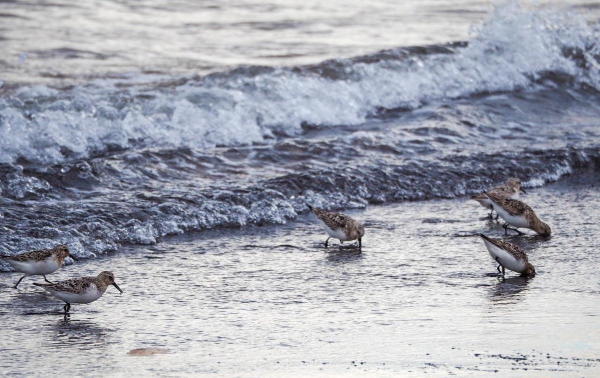 sanderlings-UK-2 Sanderlings and Dunlins of Crimdon Beach