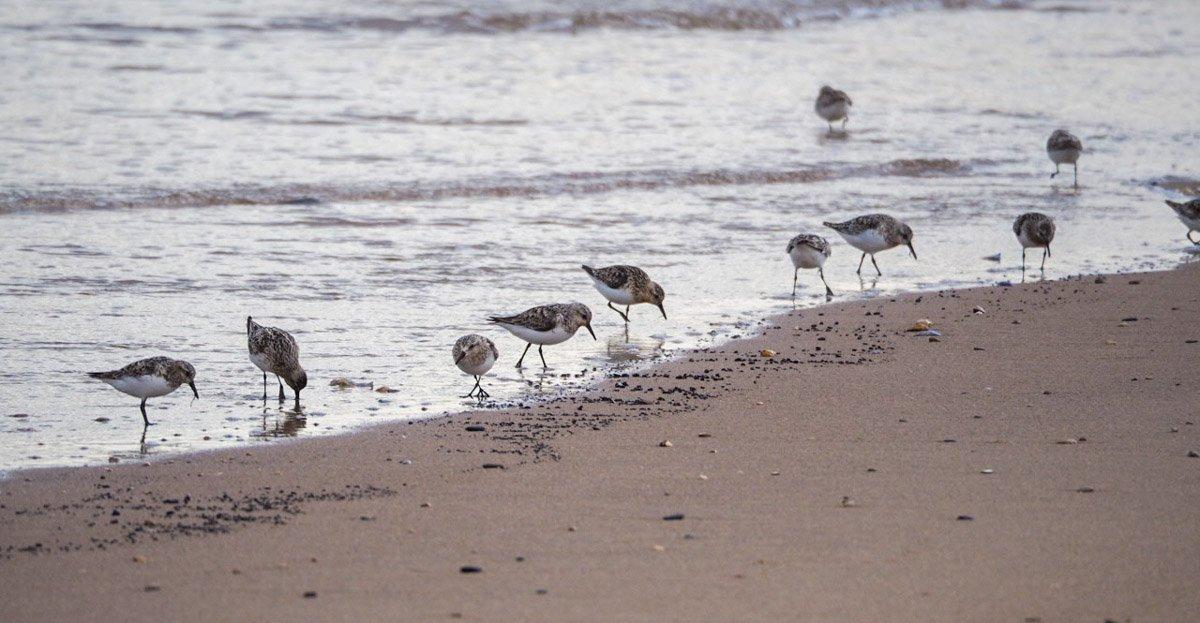 sanderlings-UK-4 Sanderlings and Dunlins of Crimdon Beach