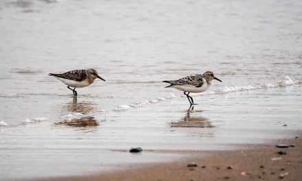 Sanderlings and Dunlins of Crimdon Beach