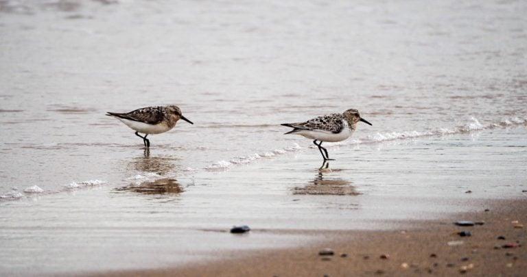Sanderlings and Dunlins of Crimdon Beach