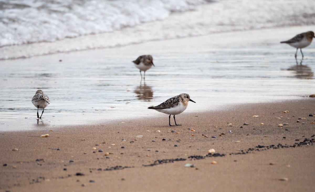 sanderlings-UK-7 Sanderlings and Dunlins of Crimdon Beach