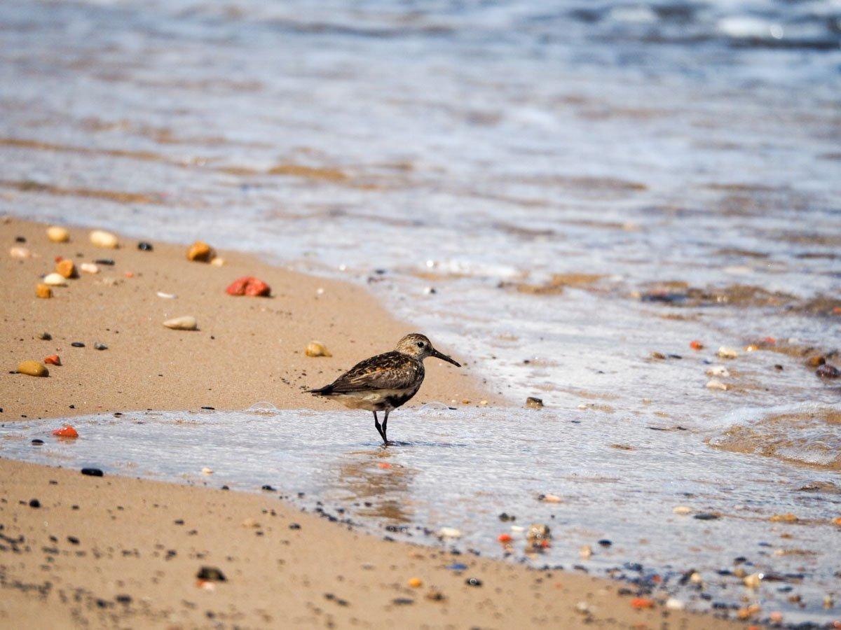 sanderlings-UK-8 Sanderlings and Dunlins of Crimdon Beach