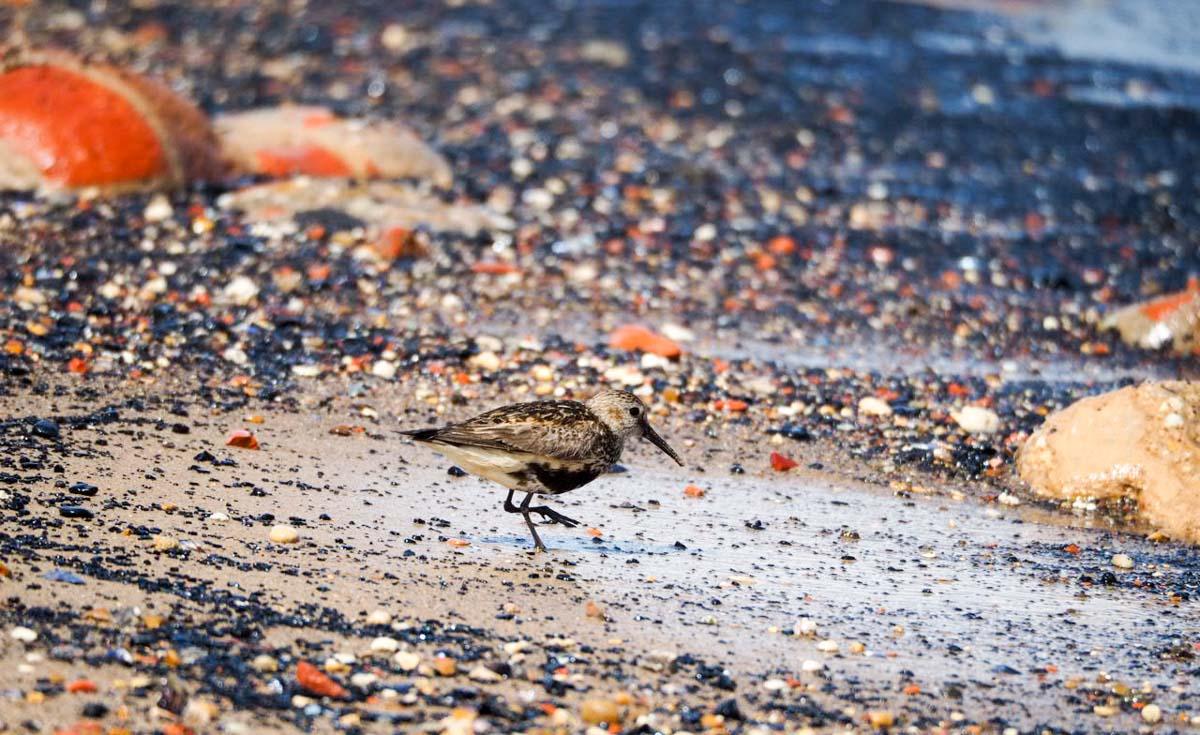 sanderlings-UK-9 Sanderlings and Dunlins of Crimdon Beach