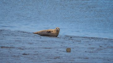 The Seals of Seal Sands, Teesside