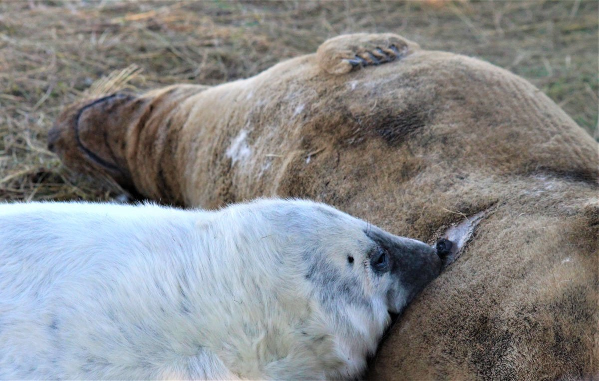 seals-donna-nook-1 Up Close With Fluffy White Seal Pups – England's East Coast