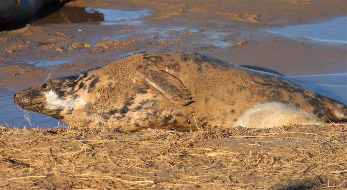 seals-donna-nook-2 Up Close With Fluffy White Seal Pups – England's East Coast