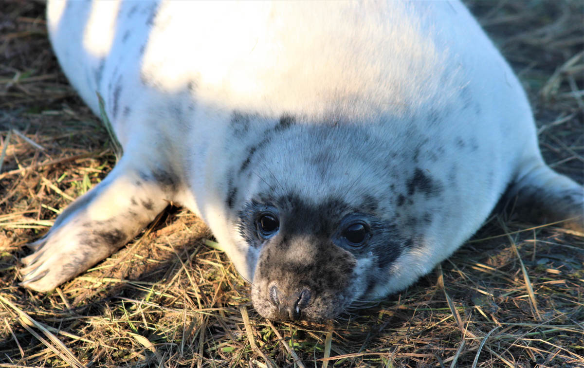 seals-donna-nook-3 Up Close With Fluffy White Seal Pups – England's East Coast