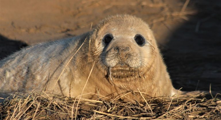 Up Close With Fluffy White Seal Pups – England's East Coast